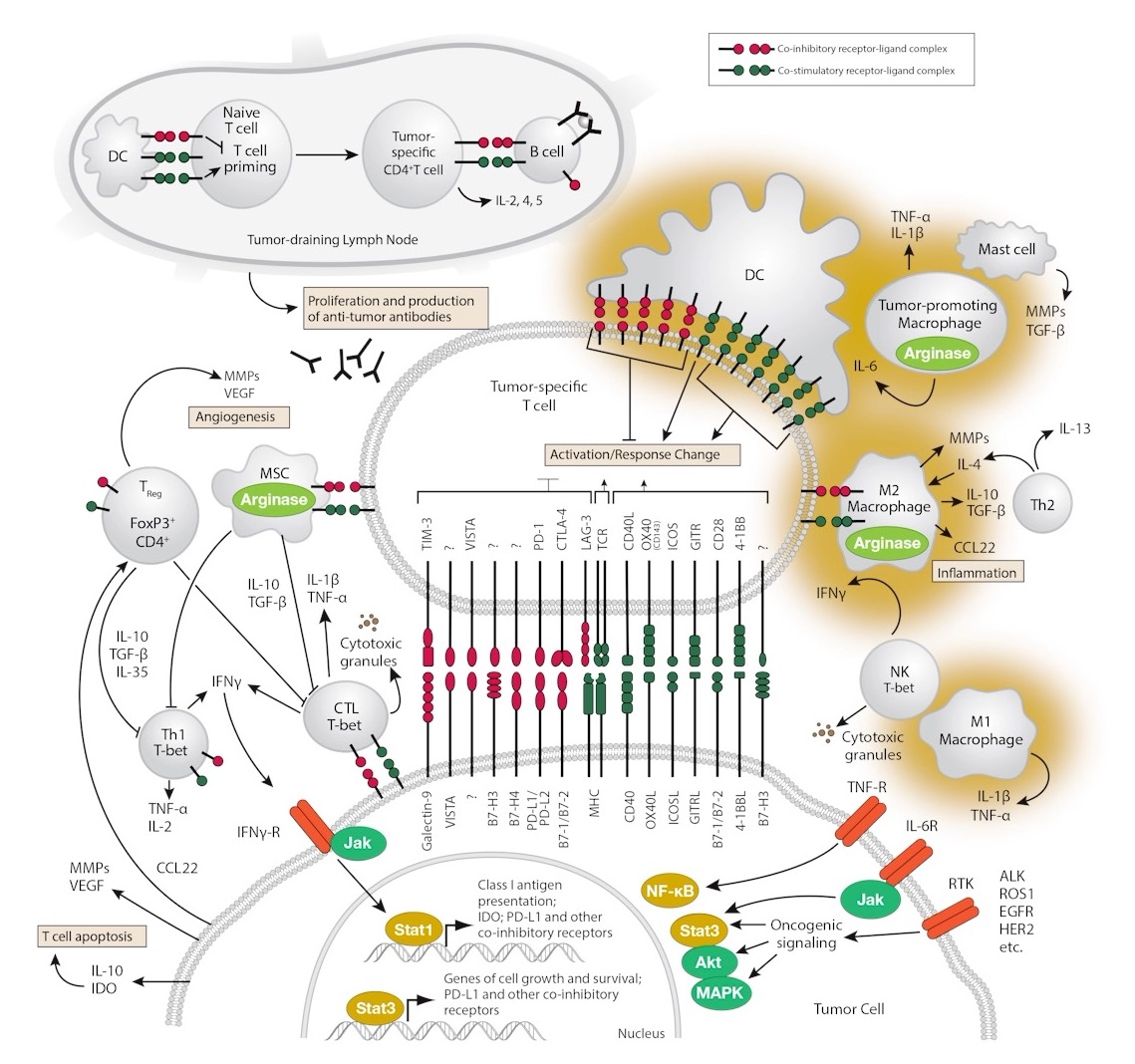 Immune Checkpoint Signaling Pathway