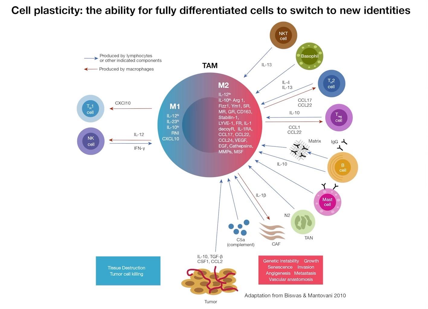 Understanding Macrophages still 3-1