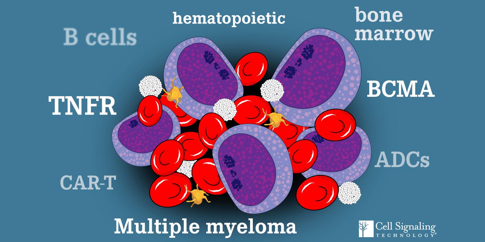 B Cells, TNFR, CAR-T, hematopoietic, bone marrow, BCMA, ADCs, Multiple myeloma