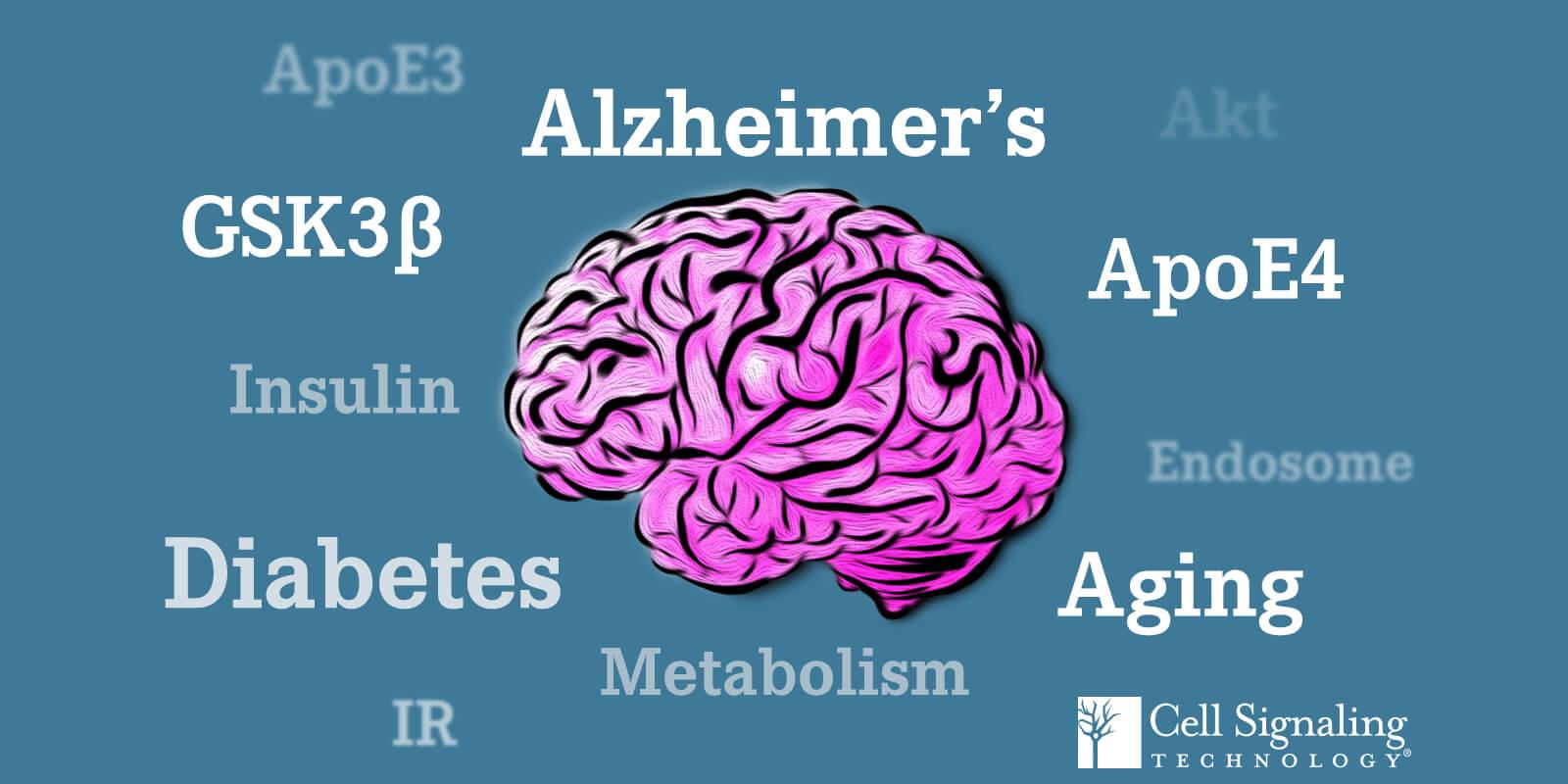 ApoE3 ApoE4 Akt Aging Alzheimer's Metabolism Insulin Diabetes