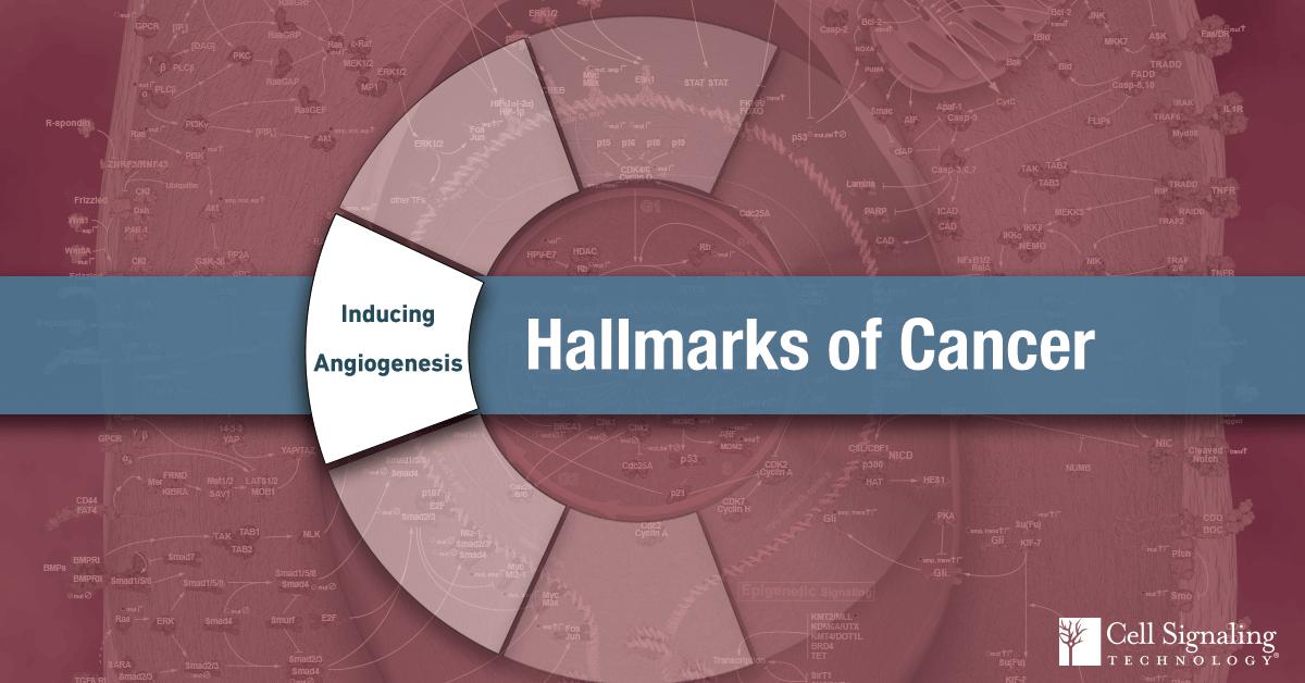 18-CEL-47663-Blog-Hallmarks-Cancer-3-Inducing-Angiogenesis