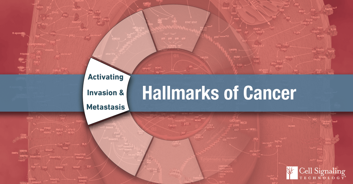 18-CEL-48027-Blog-Hallmarks-of-Cancer-Activating-Invasion-and-Metastasis-10