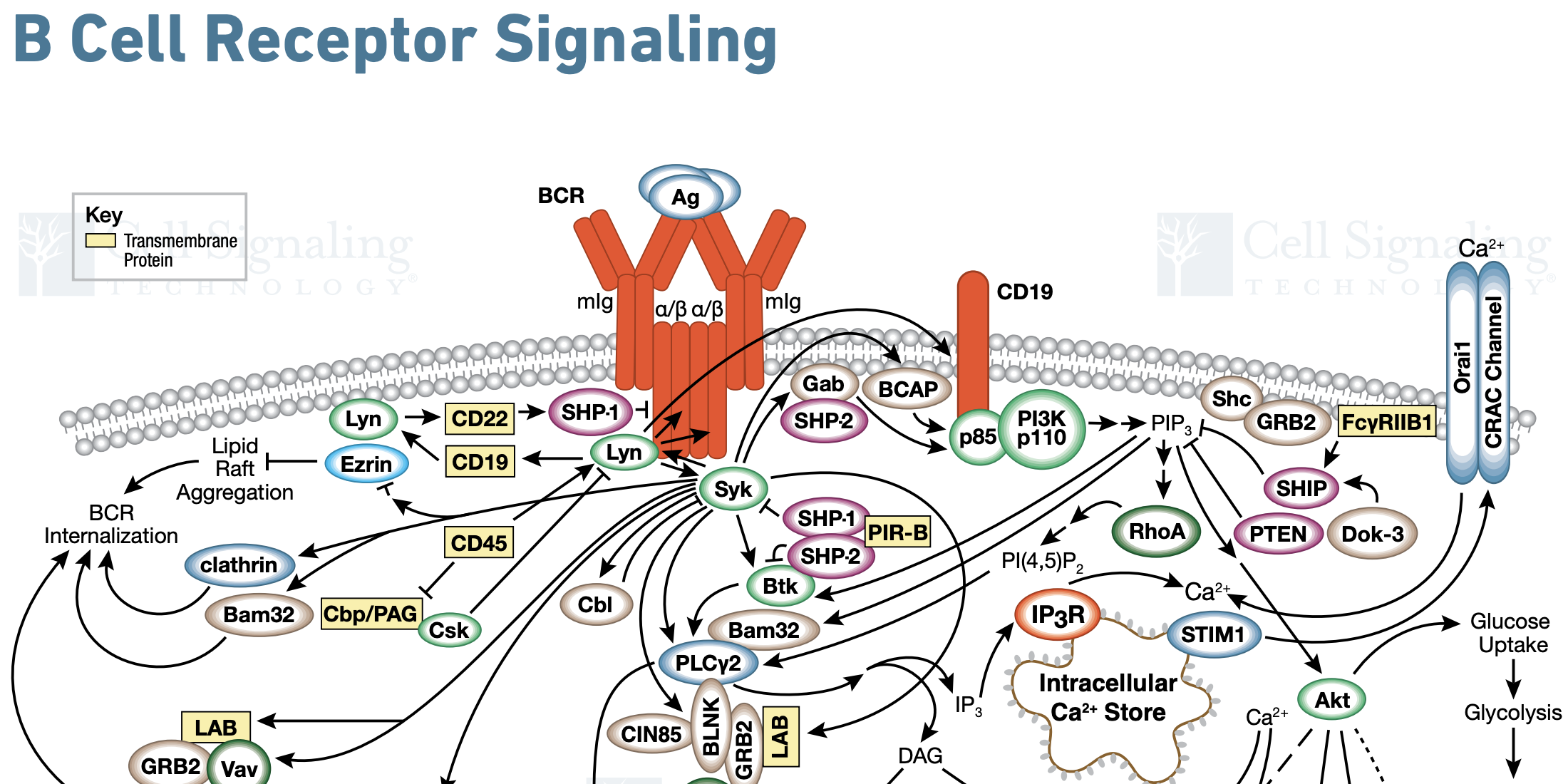 B Cell Receptor Signaling Diagram