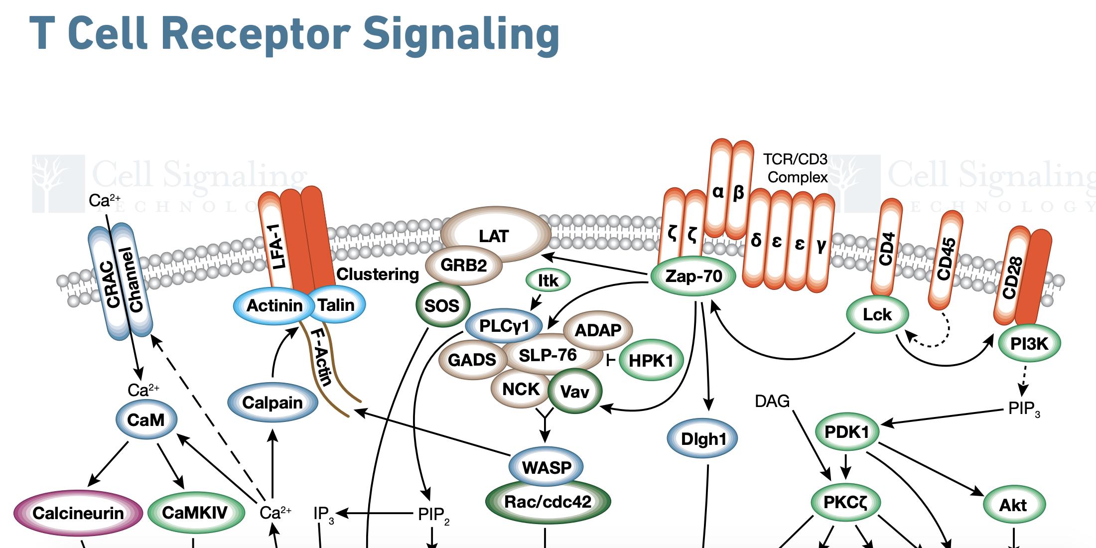 T Cell Receptor Signaling Diagram