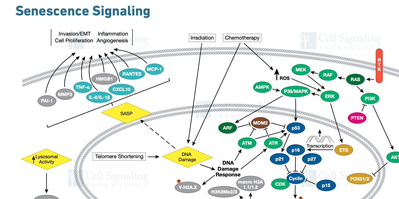 20-CEP-15480 Senescence Signaling Art