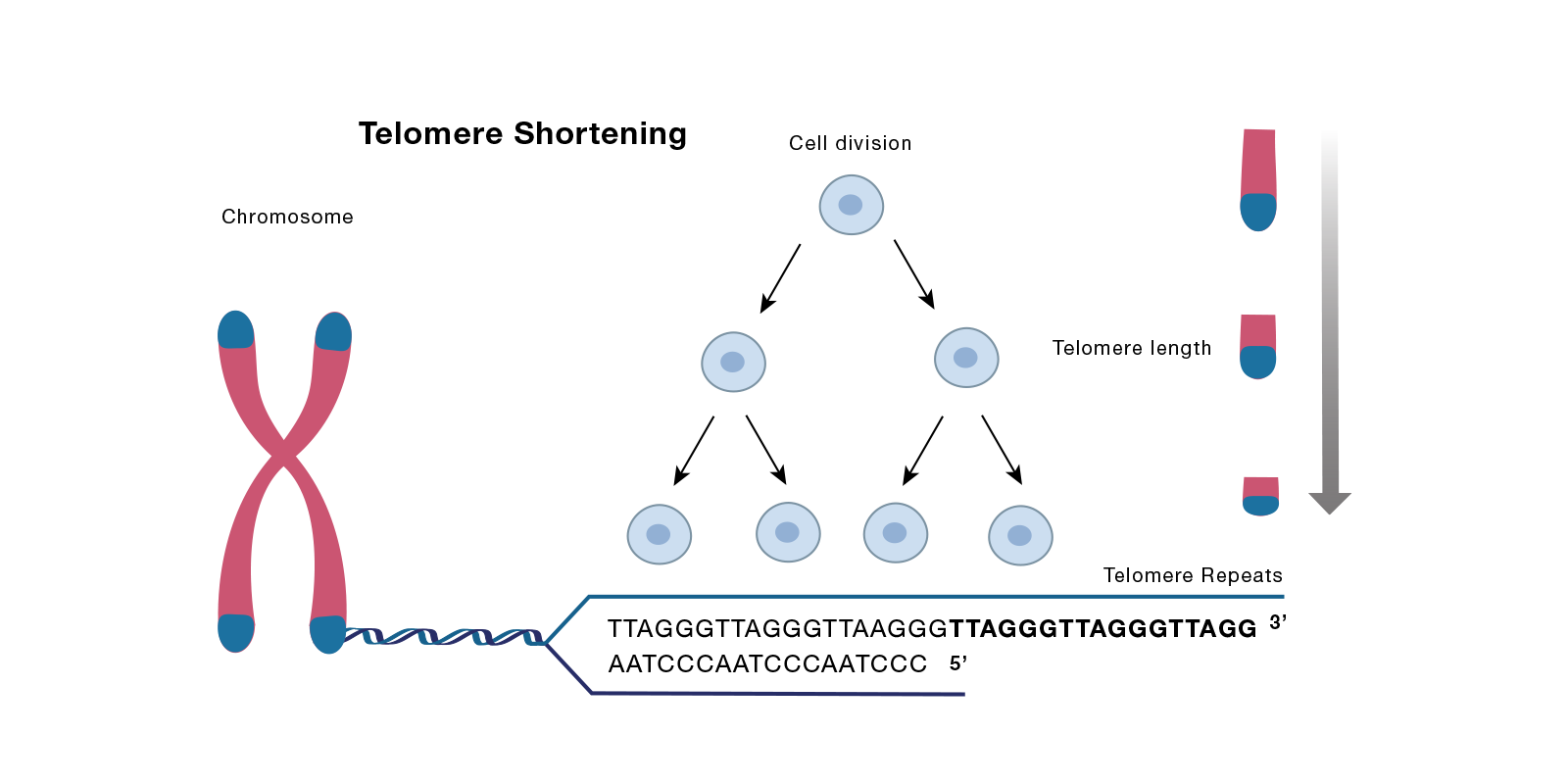 20-CEP-15480 Senescence Telomere Art