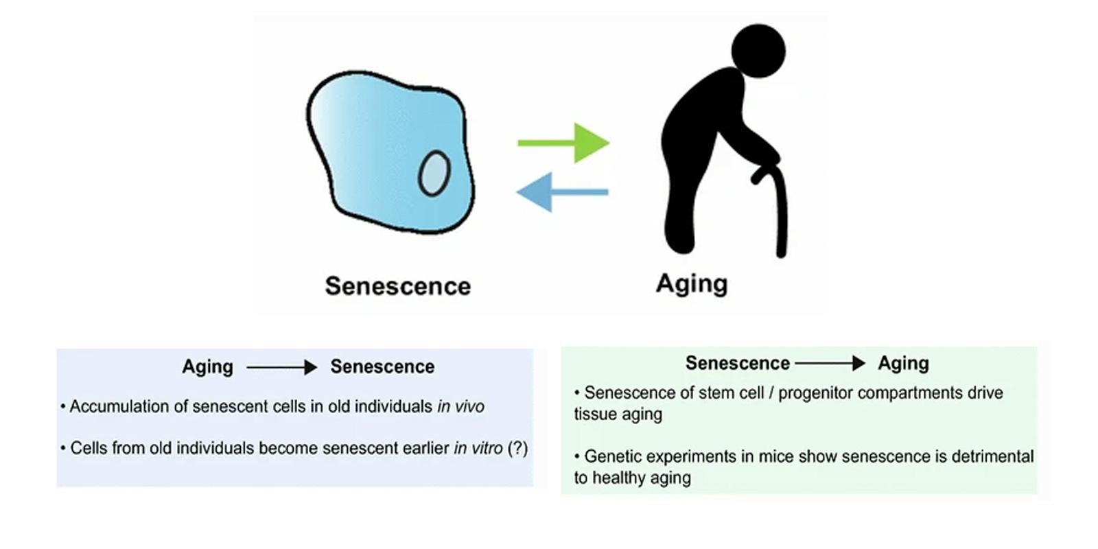 20-CEP-15480-senescence-aging-4