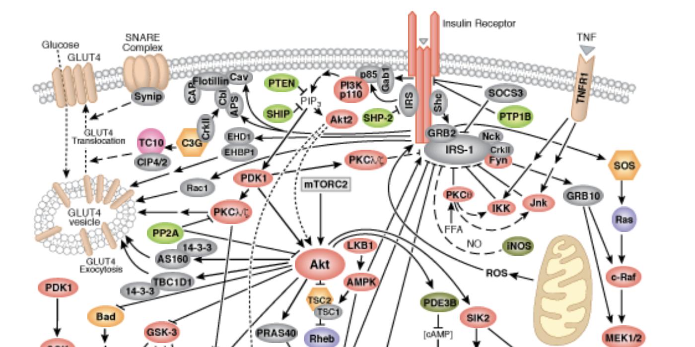 Insulin Receptor Signaling Pathway