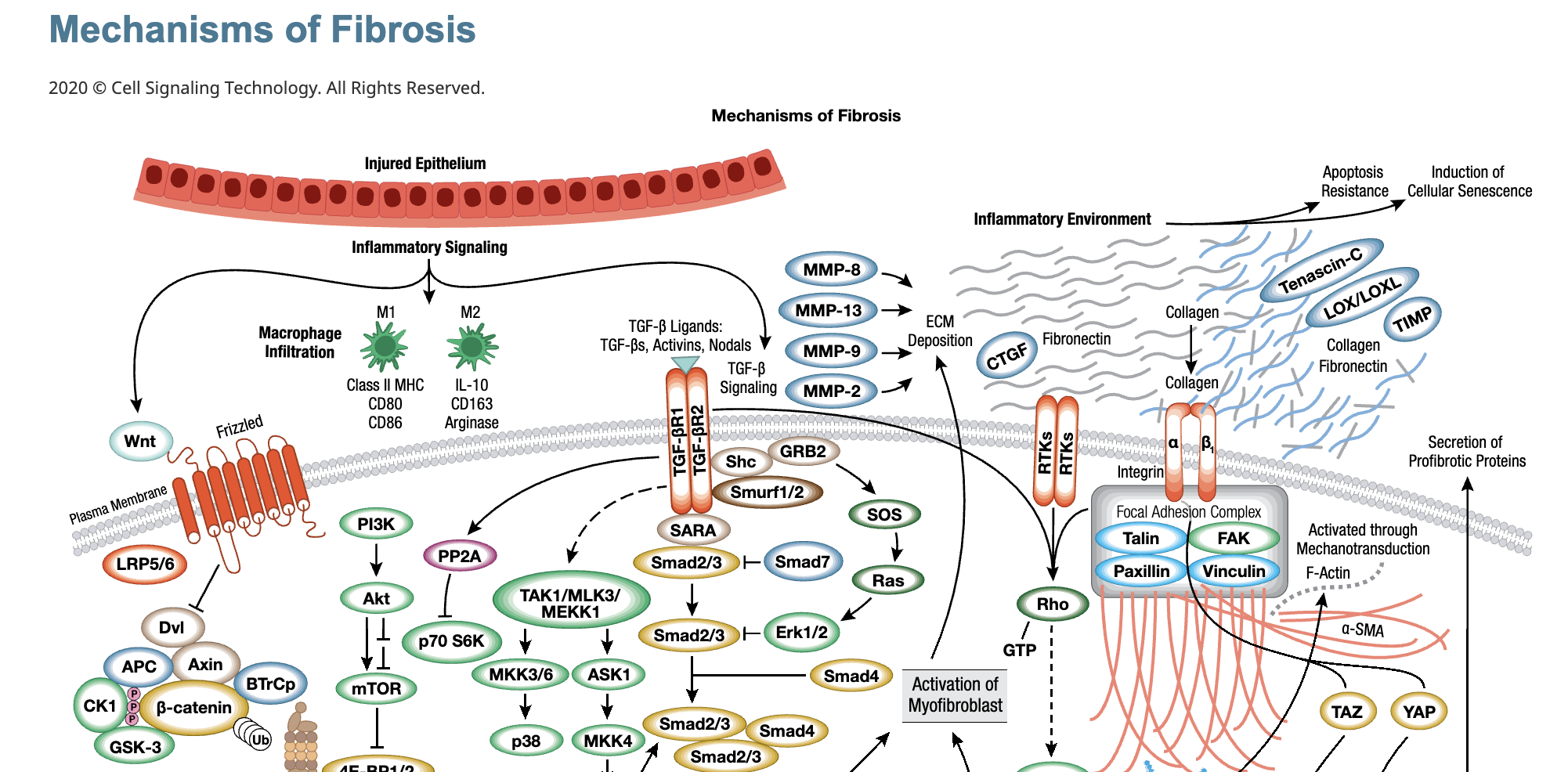 20-EMG-97563 Mechanisms of Fibrosis the context of Covid