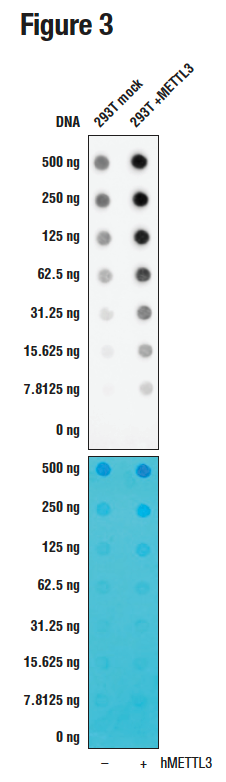 The top panel shows the antibody detecting more methylated adenosine in cells overexpressing METTL3, while the bottom panel shows the membrane stained with methylene blue.