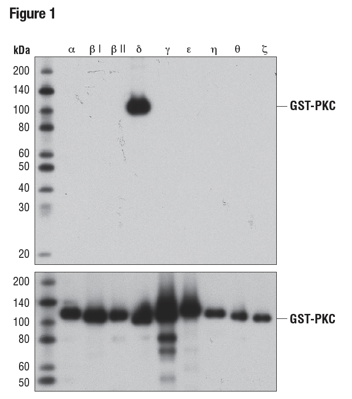 WB analysis of bacterially expressed, GST-tagged, purified PKC isoforms, using PKCδ (D10E2) (upper) or GST (91G1) (lower), demonstrating specificity for PKCδ