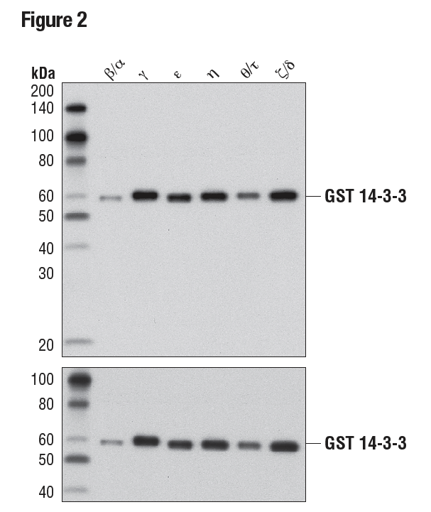 WB analysis of purified, recombinant, GST-tagged 14-3-3 isoforms using 14-3-3 (pan) (upper) or GST (91G1), (lower) demonstrating isoform cross-reactivity.