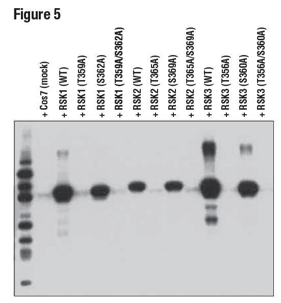 WB analysis of extracts from 293T cells using Phospho-p90RSK (Thr359) (D1E9)