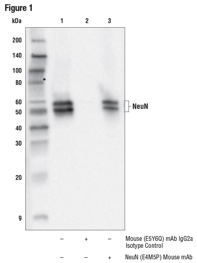 IP of NeuN protein from rat brain tissue extracts