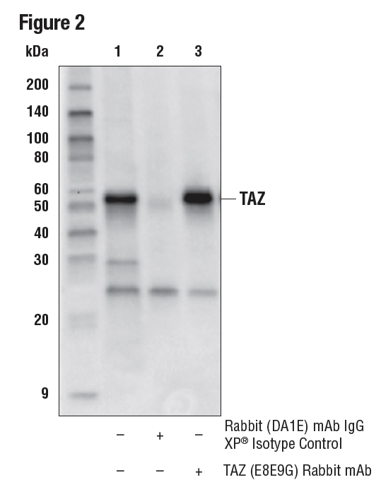 IP of TAZ protein from HeLa cell extracts