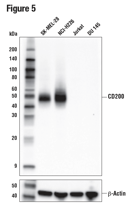 WB analysis of extracts from various cell lines using CD200 (E5I9V)