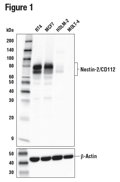 WB analysis of extracts from various human cells using Nectin-2/CD112 (D8D3F)