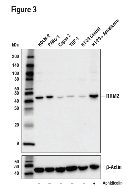 WB analysis of extracts from various cell lines using RRM2 (E7Y9J)