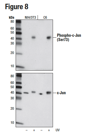 WB analysis of extracts from NIH/3T3 or C6 cells, untreated or UV-treated, using Phospho-c-Jun (Ser73) (D47G9) (upper) or c-Jun (60A8) (lower).