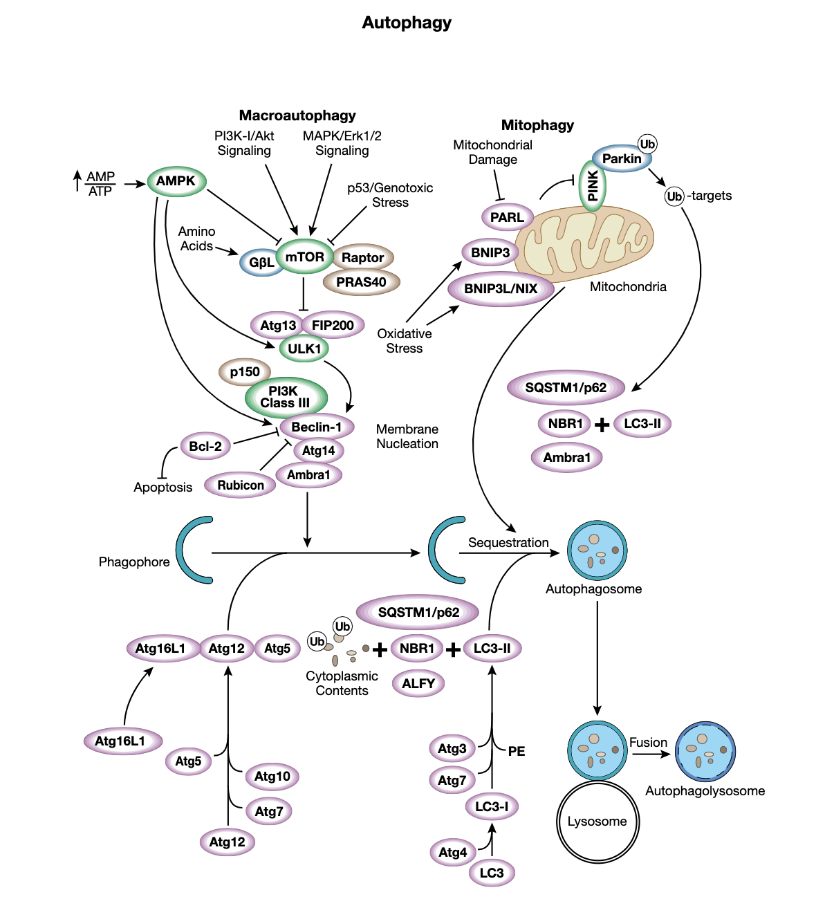 Figure 3 Autophagy Interactive Pathway