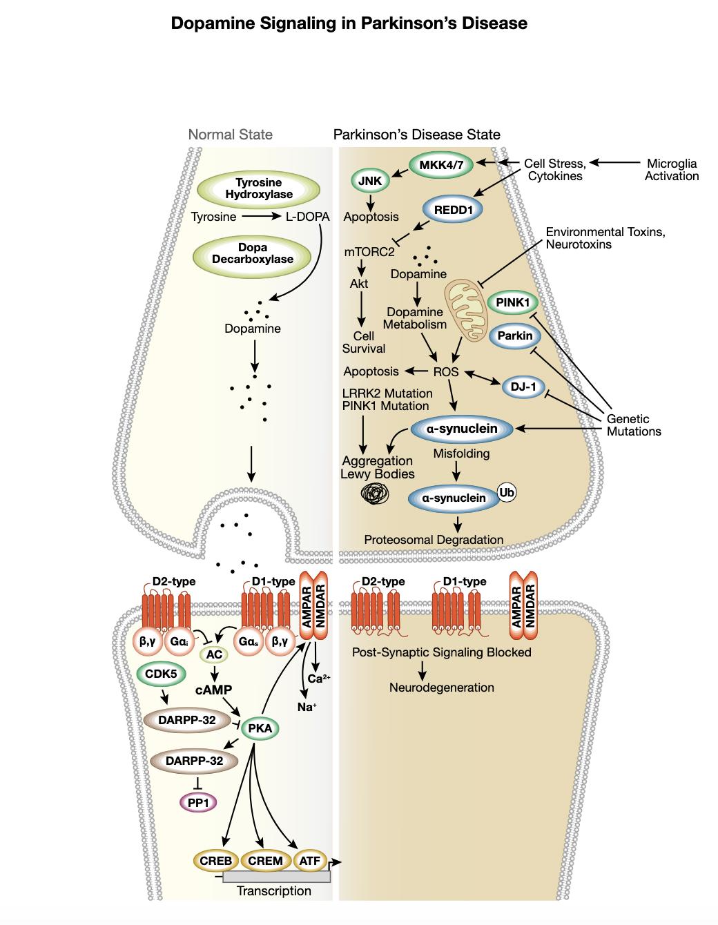 Figure 6 Dopamine Signaling in Parkinsons Interactive Pathway