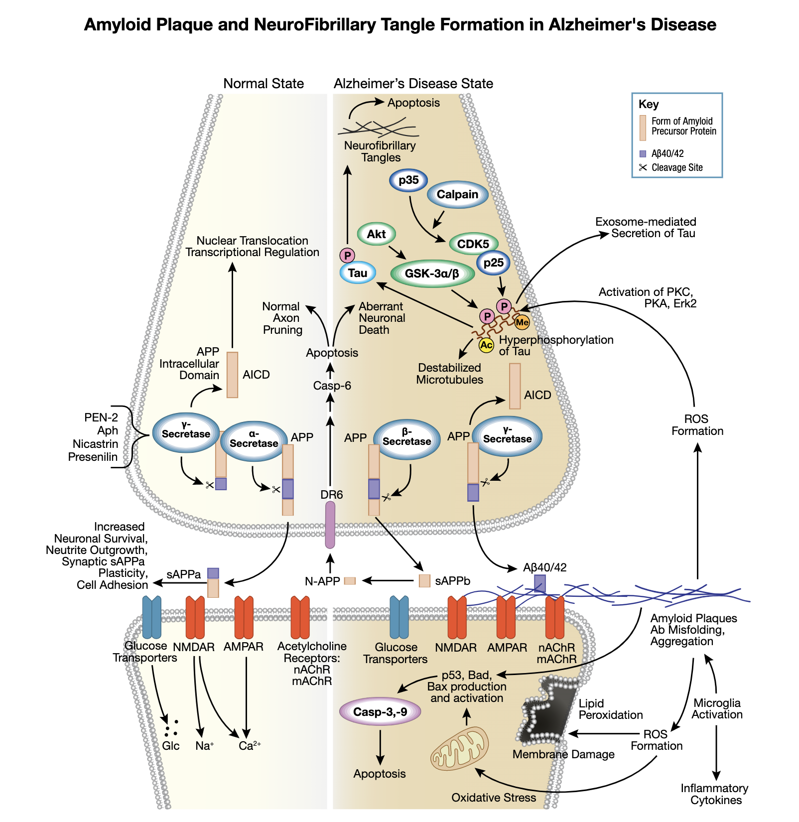 Amyloid Plaque and Neurofibrillary Tangles in Alzheimer's Interactive Signaling Pathway