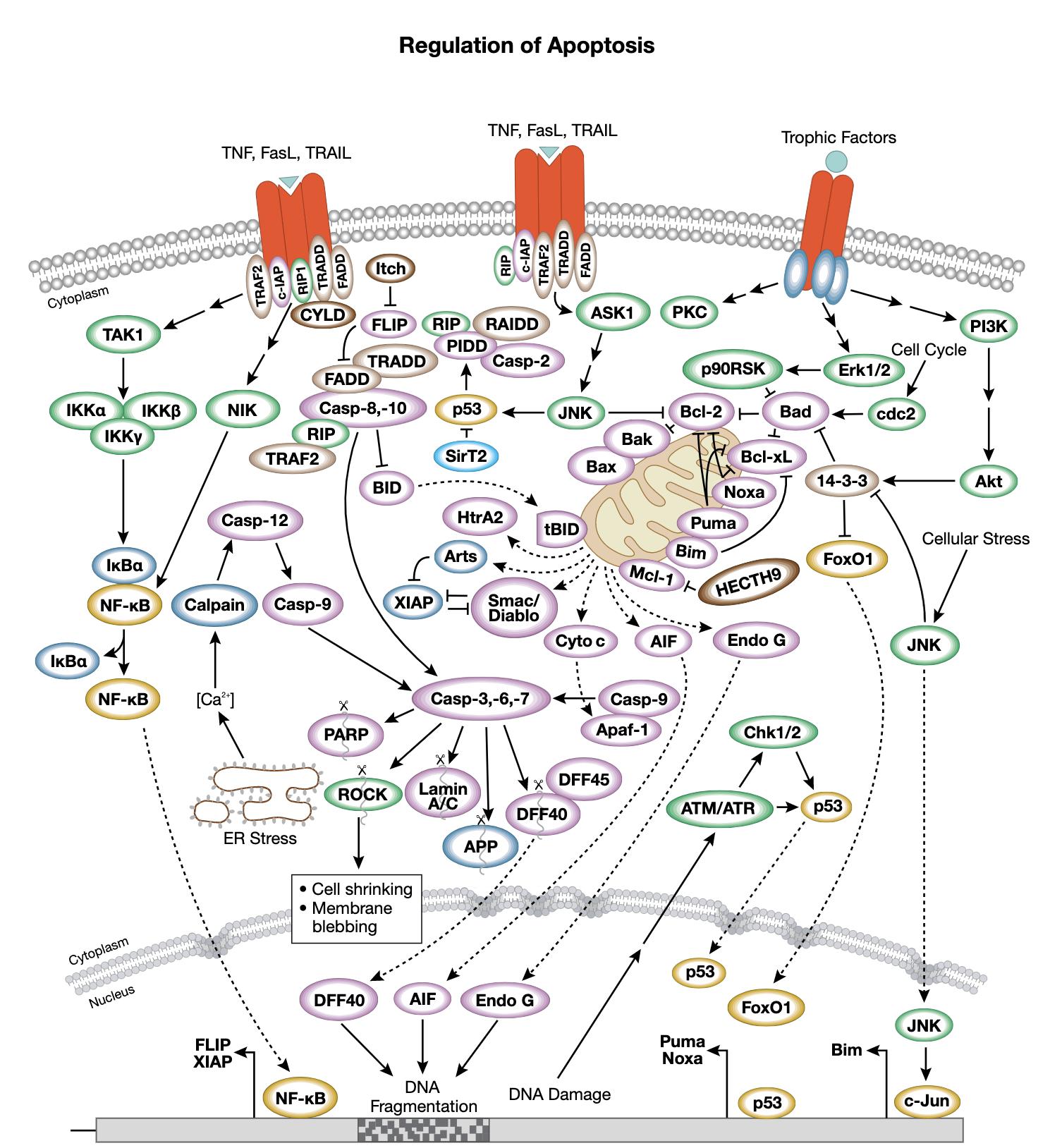 Regulation of Apoptosis Interactive Signaling Pathway
