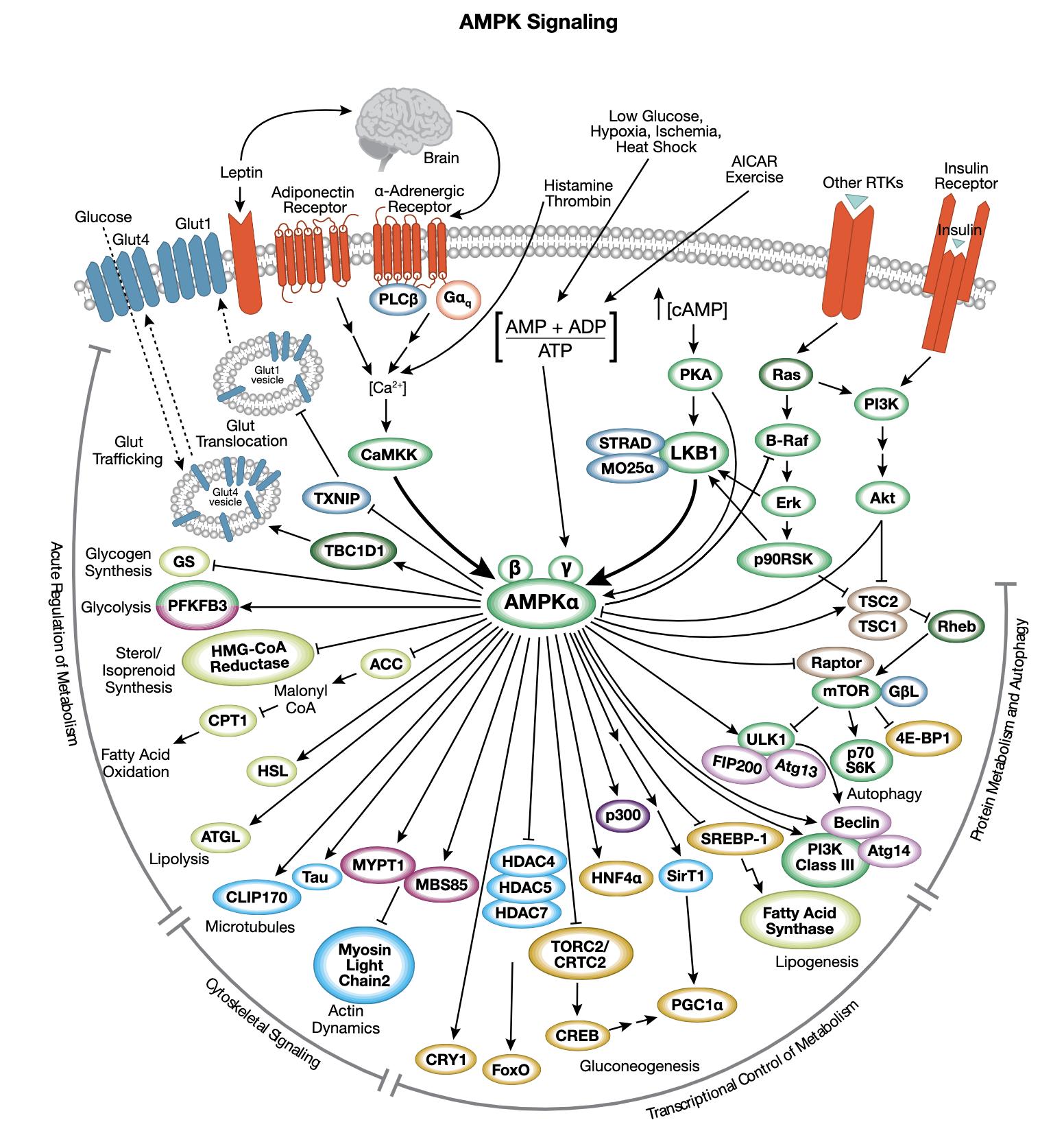 AMPK Interactive Signaling Pathway