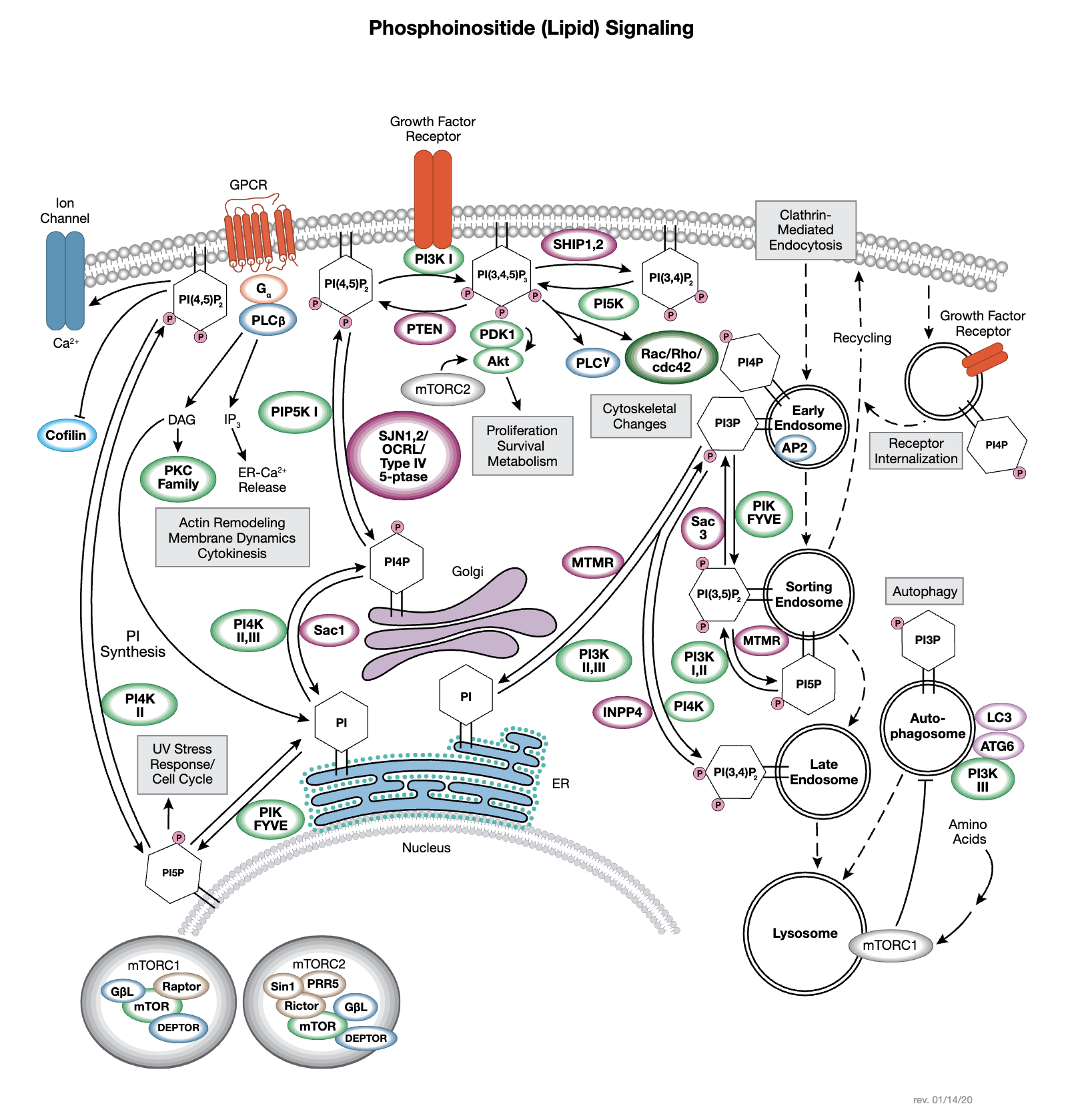 Phosphoinositide (Lipid) Signaling