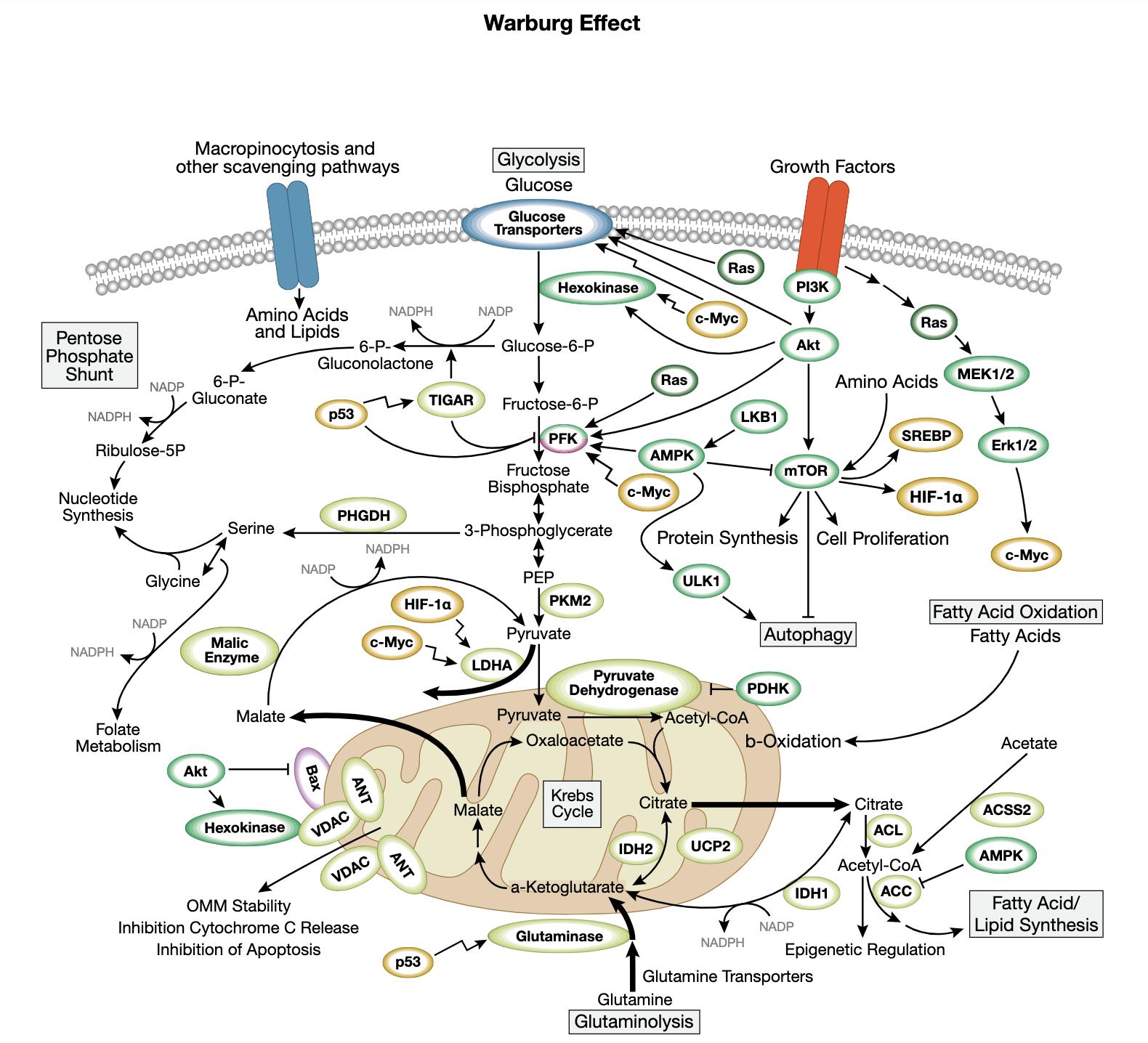 Warburg Effect Interactive Signaling Pathway