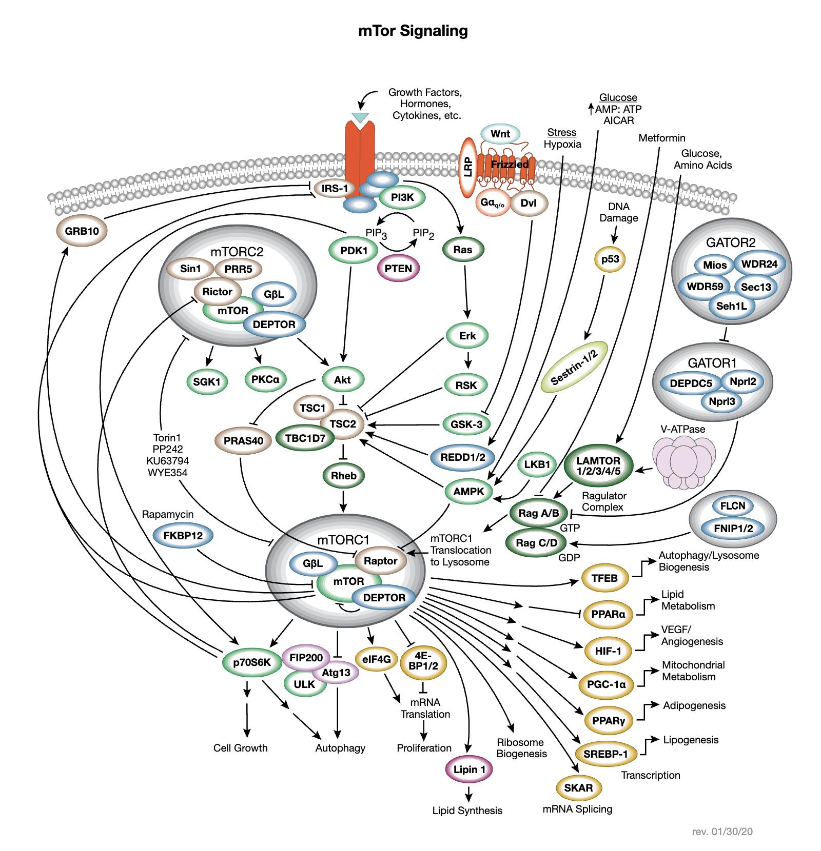 mTOR Interactive Signaling Pathway