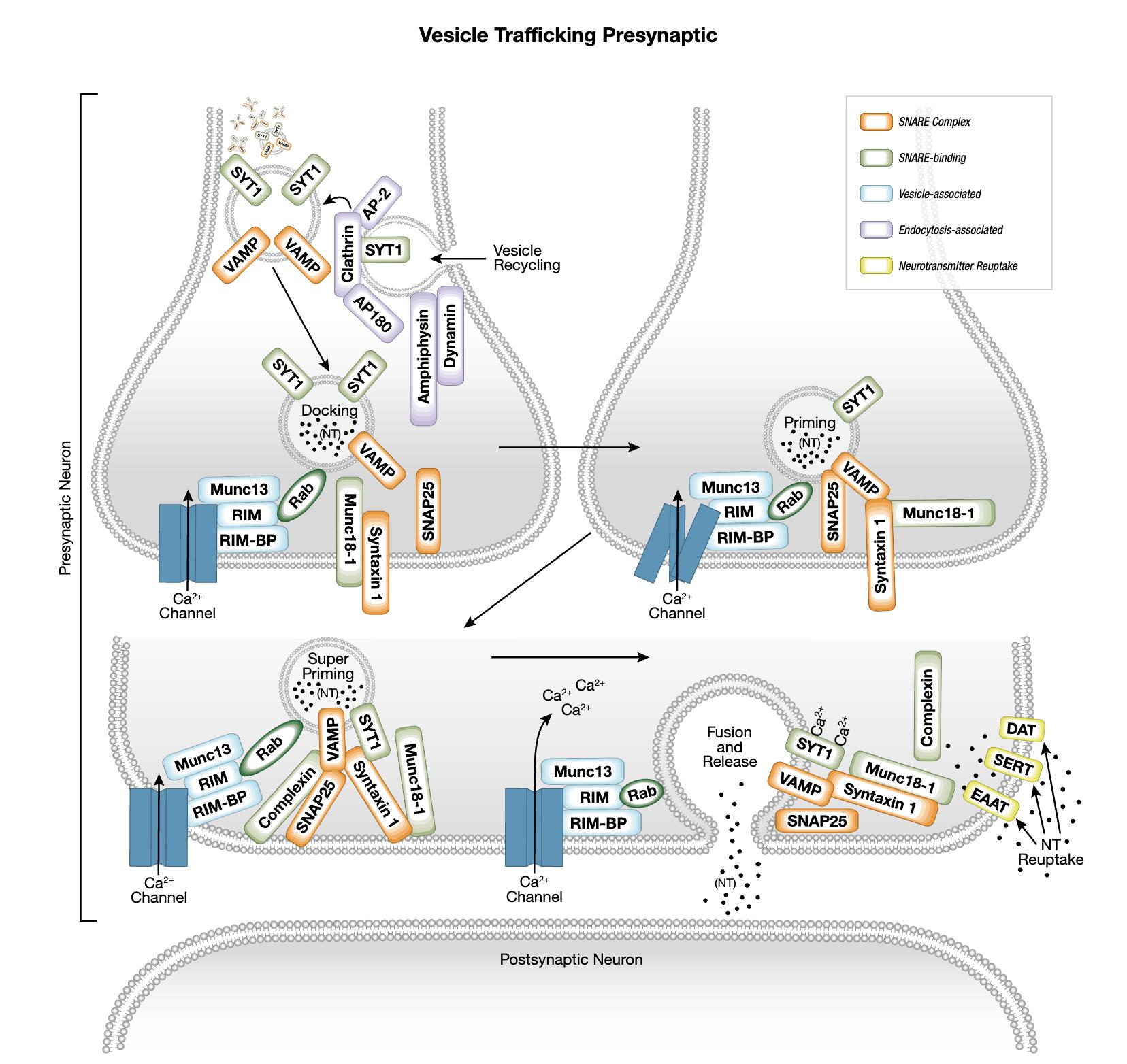 Vesicle Trafficking Presynaptic Interactive Signaling Pathway