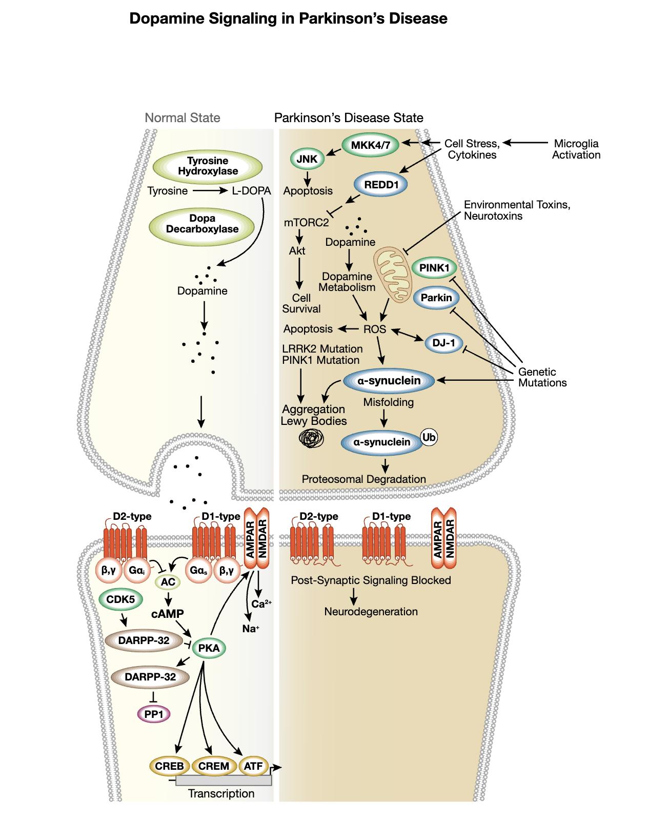 Dopamine Interactive Signaling Pathway