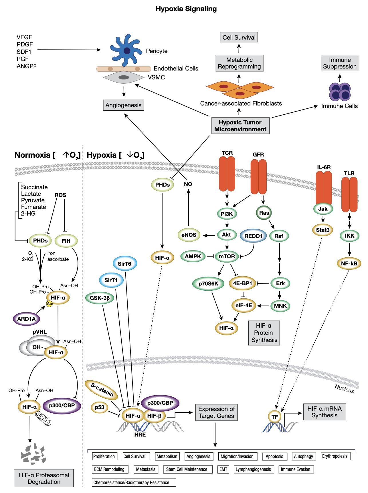 Hypoxia Interactive Signaling Pathway