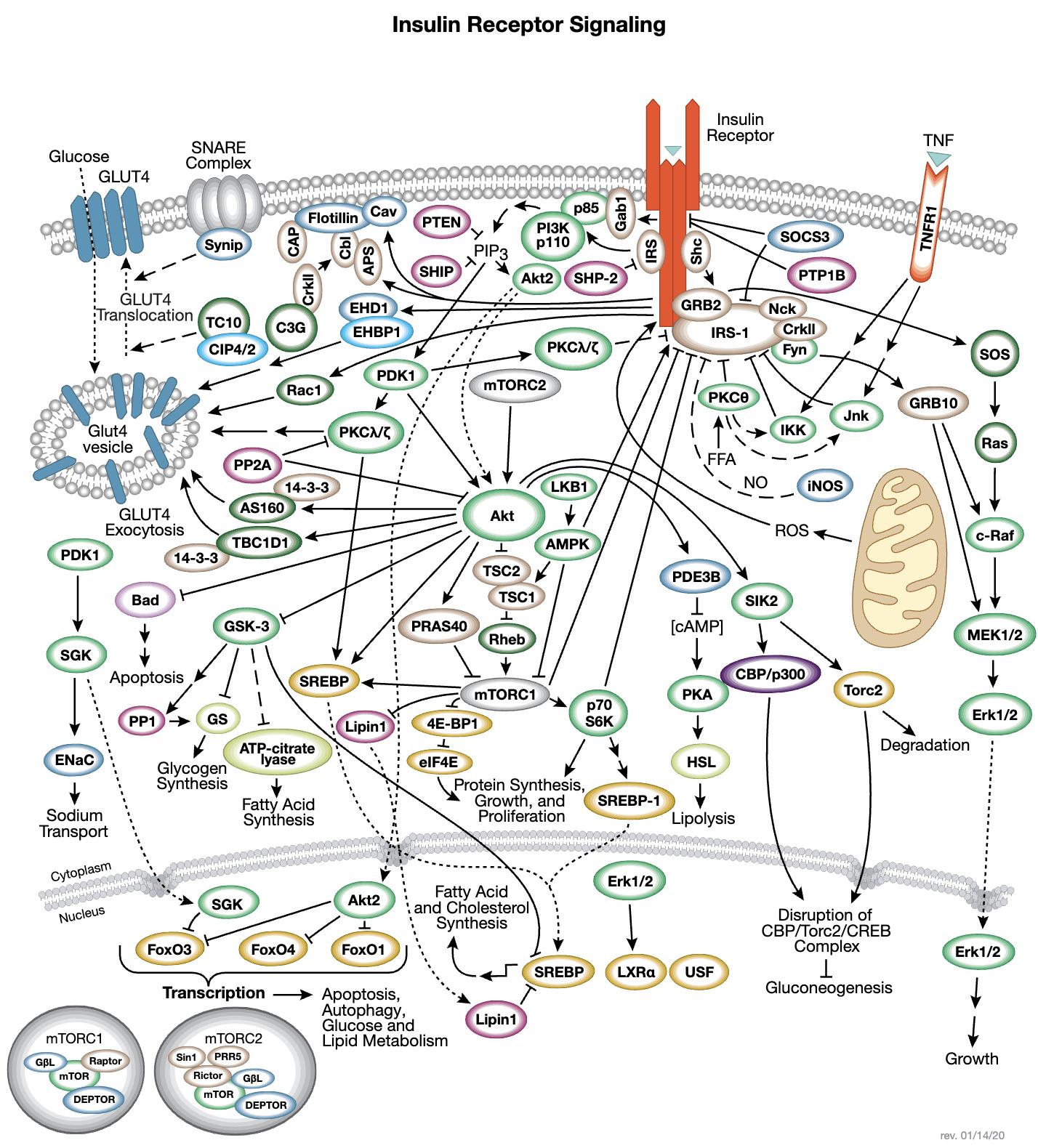 Insulin Receptor Signaling Interactive Pathway