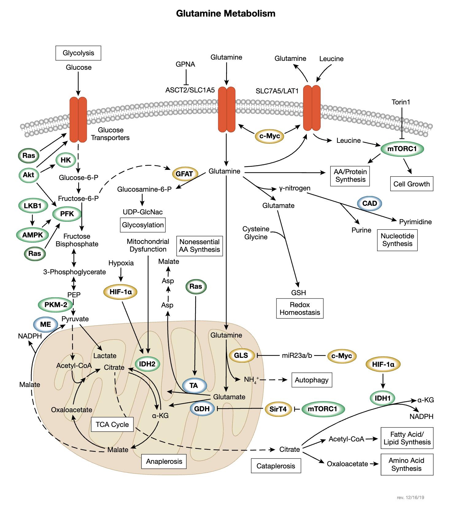Glutamine Metabolism Interactive Signaling Pathway