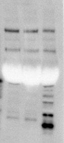 ROI 021417 Cleaved Casp1(Asp296) (1)-1