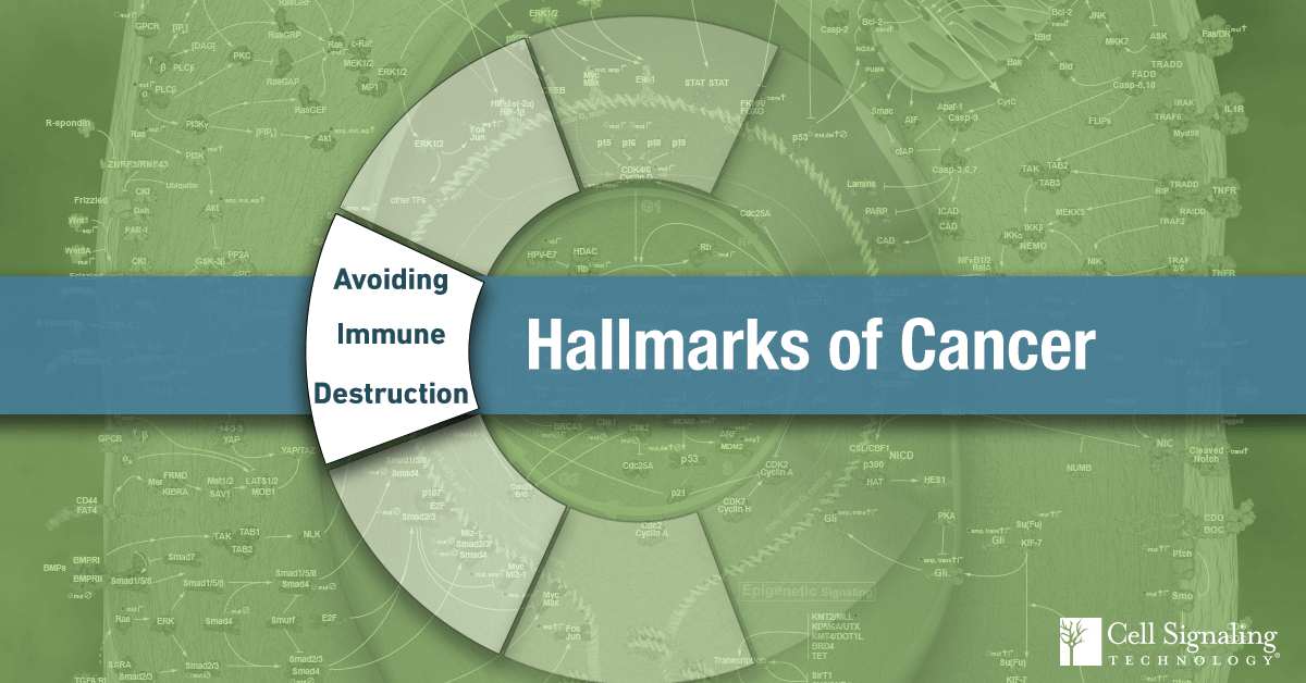 18-CEL-47282-Blog-Hallmarks-of-Cancer-Avoiding-Immune-Destruction-7