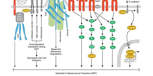 EMT-Signaltransduktion. Kann die Identitätskrise einer Zelle zur Entwicklung von Krebs führen?